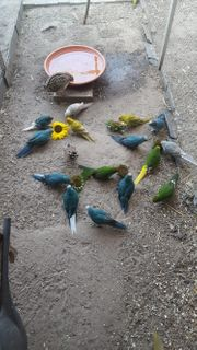 Ziegensittiche in verschiedenen Farben Springsittiche
