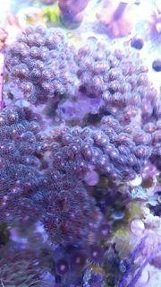 Korallen Meerwasser Pocillopora Montipora