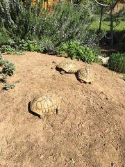Griechische Landschildkröten Thb Nachzuchten 2019