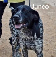 Junco Mix Mischling Bracke 01-2014