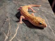 Hübsche Leopardgeckos