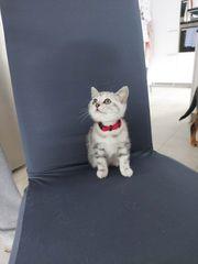 reinrassige BKH katzenbabys kitten
