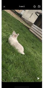 Angora Kaninchen