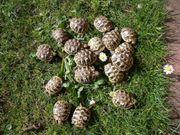 Junge Griechische u dalmatinische Landschildkröten