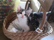 Europäische Kurzhaar kitten Kätzchen katzenbaby