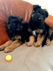 Zordon und Zoe Schäferhunde für