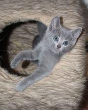 Bildhübsche Russisch Blau Kätzchen