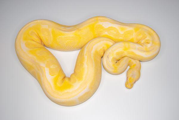 Houten Pewter Albino Zuchtweibchen