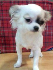 zwei Chihuahua mini Geschwister eine