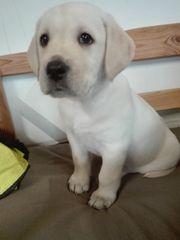 Labrador Welpen
