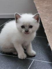 Ragdoll Kitten ab 17 7