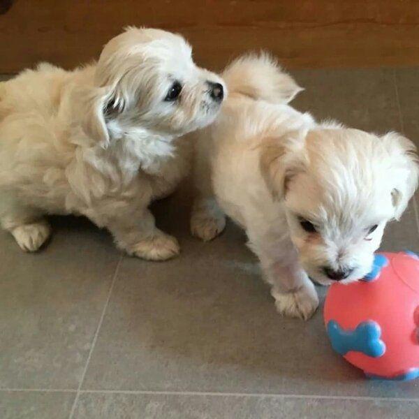 Tolle Malteser Welpen In Berlin Hunde Kaufen Und Verkaufen Uber Private Kleinanzeigen
