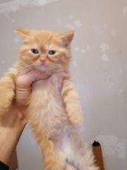 Baby bkh kätzchen