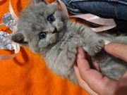 BKH-Kitten Reinrassig und Wunderschön