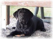 Labrador Welpen aus Familienzucht mit