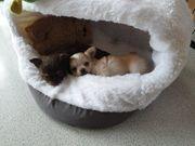 Chihuahua Welpen mini langhaar