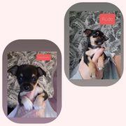 2 Chihuahua Welpen suchen noch