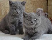 2 blue Bkh Kitten- britisch