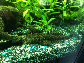 Guppys Guppy Endler und Antennenwelse: Kleinanzeigen aus Kämpfelbach - Rubrik Fische, Aquaristik