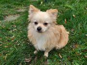 Pomchi Chihuahua - Pomeranian Rüde