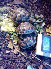 Landschildkröten-Babies abzugeben