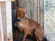 Angsthundeerfahrene Podencoliebhaber dringend gesucht
