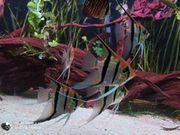 Amapa Rotrücken Skalare