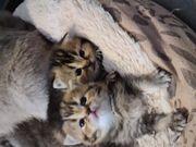 Wunderhübsche reinrassige BKH Kitten Mädchen