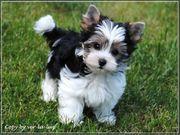 Mini kleine Yorkshire Terrier Welpen-verschiedene