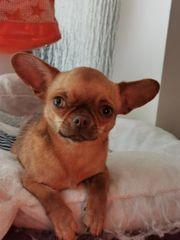 Ganz unkomplizierte Chihuahua Dame noch