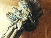 Boa constrictor abzugeben