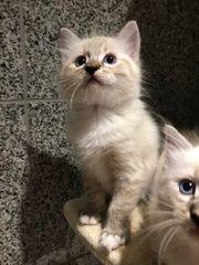 Ragdoll Katzenbabys