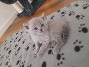 2 bkh kätzchen abzugeben