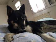 Gassigehpartner Hundebetreuung für Husky gesucht