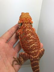 Bartagamen Männchen red orange het