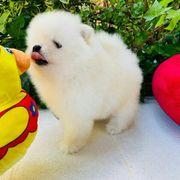 Wunderschöner Pomeranian Zwergspitz Typ Teddy