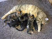 Wunderschöne charakterstarke Bengal-Mix-Kitten