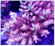Korallenableger Acropora Strawberry shortcake