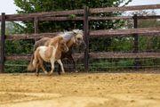 Mini Shetty Shetland Pony Hengstfohlen