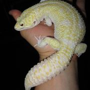 Suche Leopardgeckos Giant Supergiant Godzilla