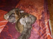Reinrassige British Kurzhaar Kitten mit