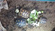 Köhlerschildkröten von 2020
