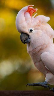 Wir suchen Moluccan Kakadu