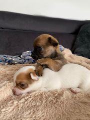 2 Kleine Chihuahua Welpen zu