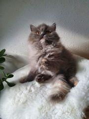 Ein wunderschönes Perserkitten