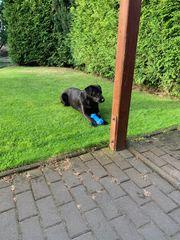 Labrador Welpen günstig abzugeben