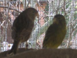 Kanarienvögel Kanarien Vögel schwarz gelb: Kleinanzeigen aus Birkenheide Feuerberg - Rubrik Vögel