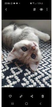 BKH EKH Mix Kitten Katzenbabys