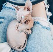 Sphynx Kitten Nacktkatze