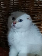 BKH Skottish Fold Babies Kitten